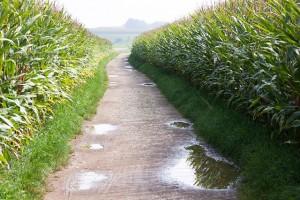 Maïs et OGM : attention à l'environnement