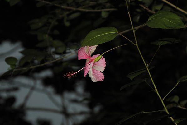 Fleur d'hibiscus au jardin botanique de Viñales