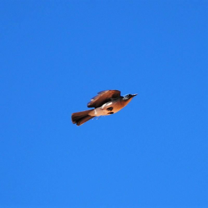Un oiseau dans le canyon d Urique