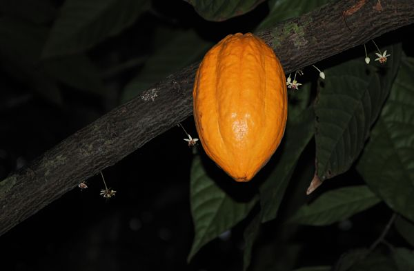 Cacao au jardin botanique de Viñales