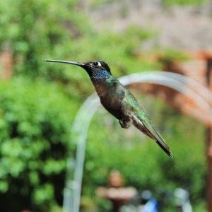 Colibri à Cerocahui