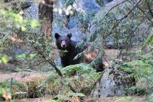 Road-Trip Etast-Unis : Ours dans le parc national de Yosemite