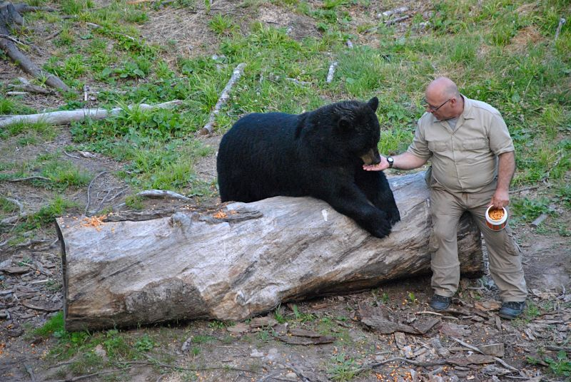 Richard, ami des ours noirs au Little Big bear safari