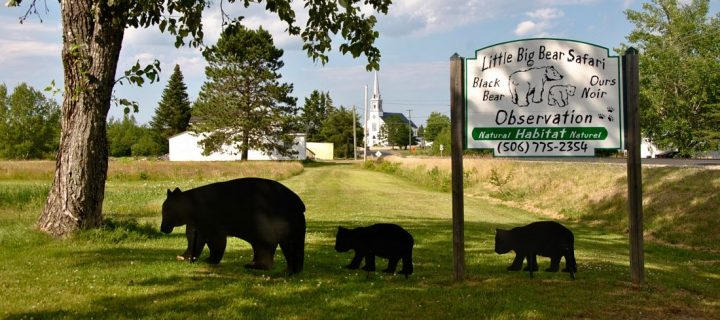 Observation des ours à Acadieville au Canada : Little, Big bear safari