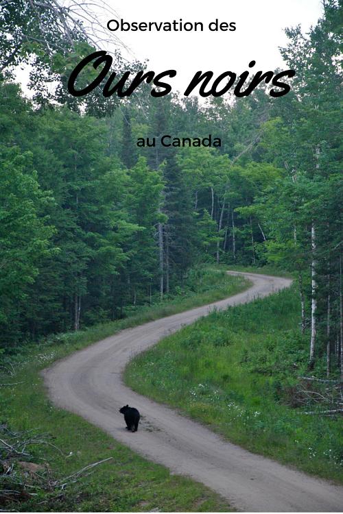 Observation des ours noirs à Acadieville au Canada