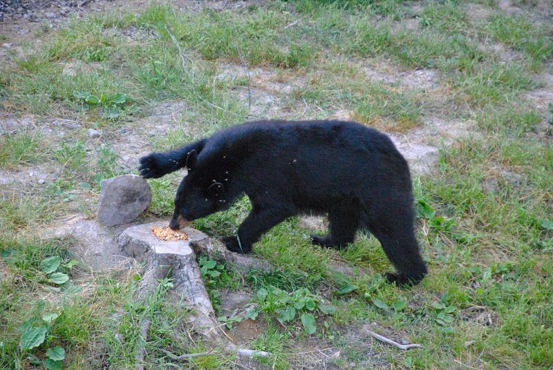 Ours noir à Acadieville au Nouveau Brunswick au Canada