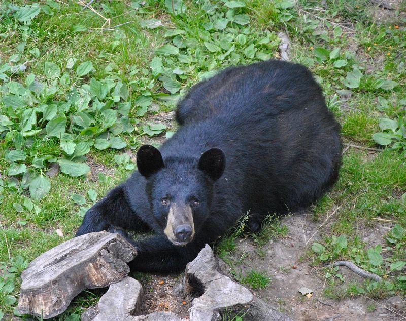 Observation des ours noirs au Canada