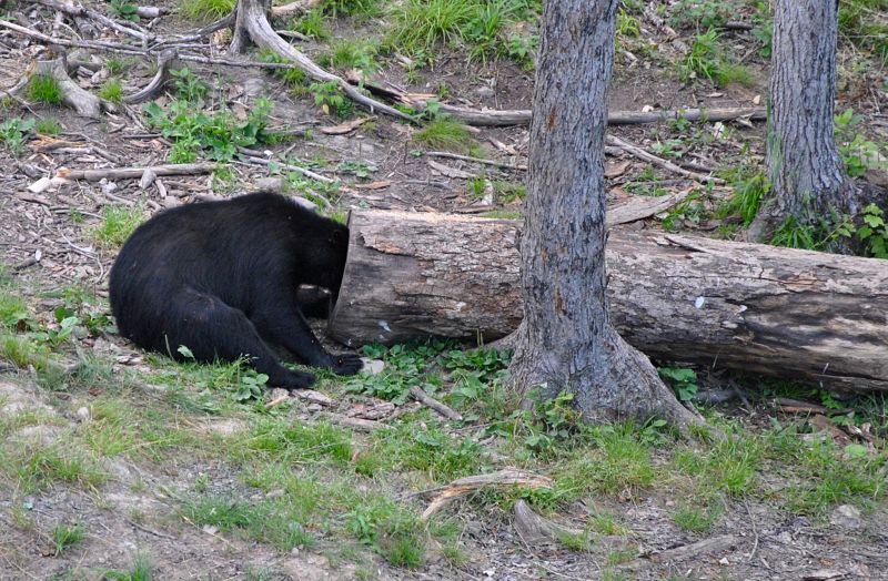 Un drôle d'ours noir la tête dans un arbre
