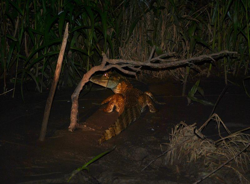 Caïman sur les bords de la rivière Madre de Dios à Puerto Maldonado