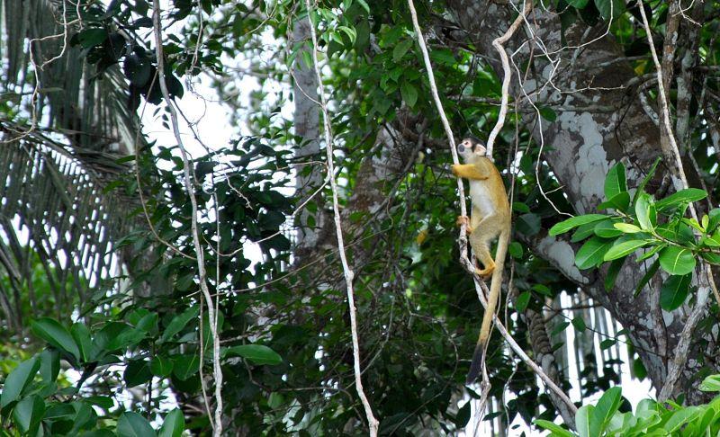 Singe écureuil dans la forêt amazonienne au bord du lac Sandoval à Puerto Maldonado