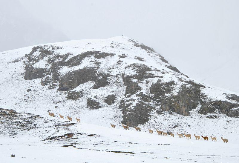Lamas marchant vers la Rainbow Mountain