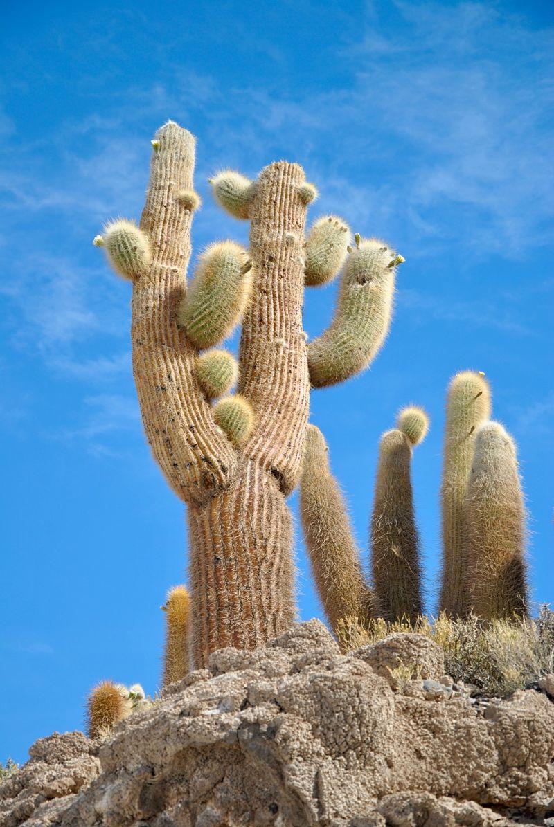 Cactus sur une île dans le désert de sel d'Uyuni en Bolivie