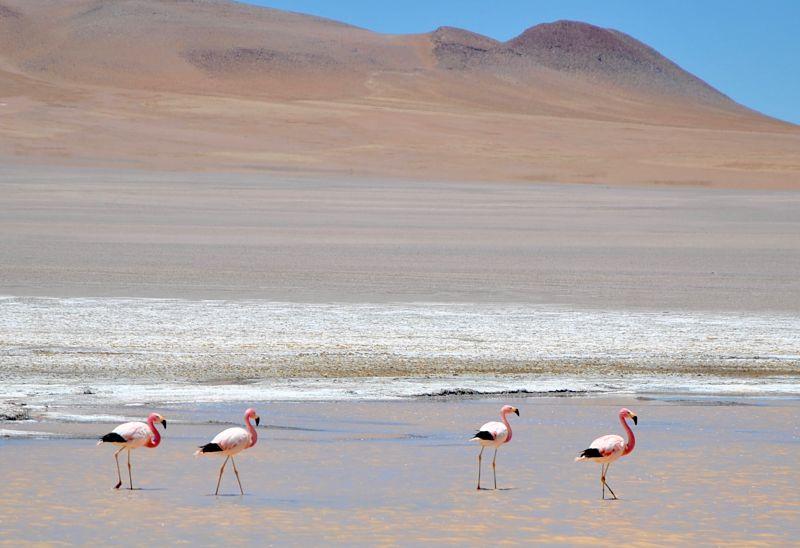 Flamants roses mangeant dans une lagune dans le désert de sel