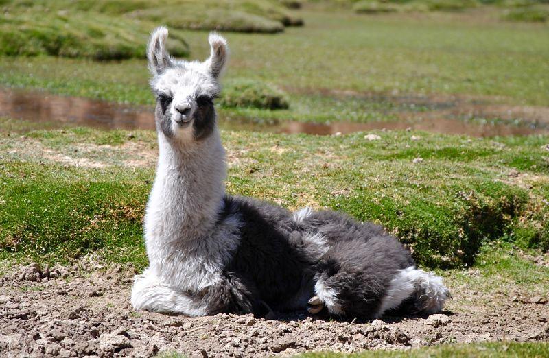 Lama à la estancia sora dans le désert de sel d'Uyuni