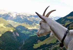 Chèvre guide sur le tour des Dents du Midi