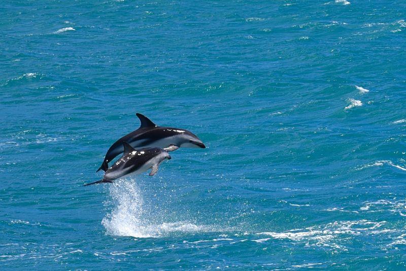 Nager avec des dauphins sauvages à Kaikoura en Nouvelle-Zélande