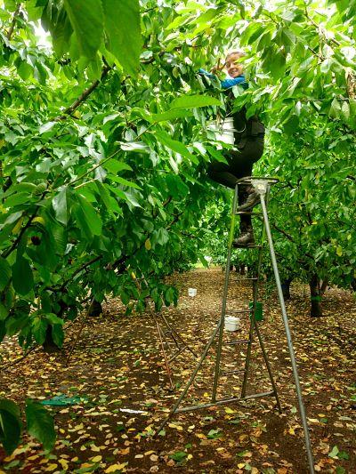 Cueillette des cerises en Nouvelle-Zélande à Roxburgh