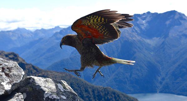 Ailes de kéa au mont Luxmore en Nouvelle-Zélande