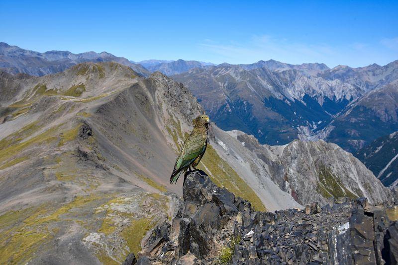 Kéa au sommet Avalanche Peak à Arthur's Pass