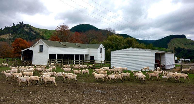 Moutons après la tonte dans une ferme en Nouvelle-Zélande