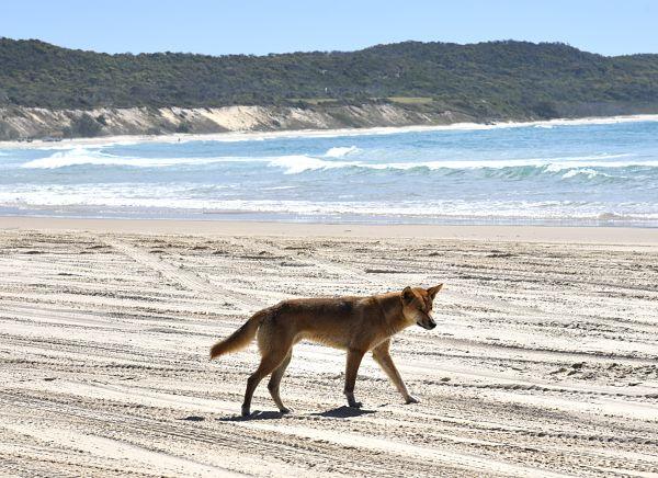 Dingo sur la plage lors de notre visite de Fraser Island