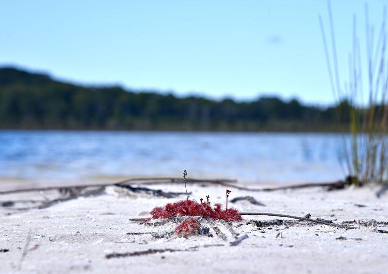 Plante carnivore au lac Birrabeen sur Fraser Island