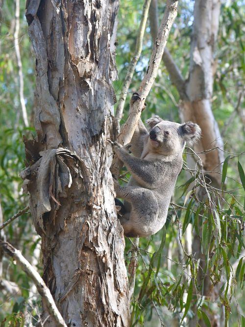 Koala sur la magnifique île de Magnetic en Australie